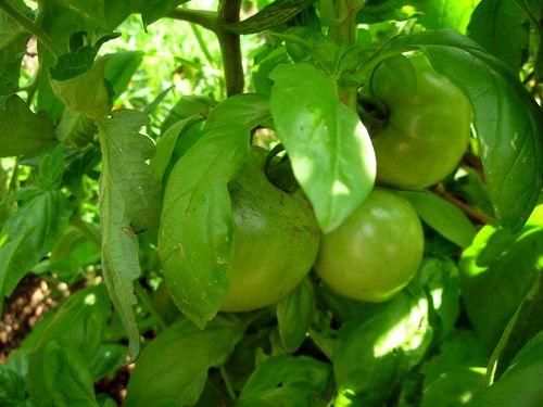 Basiltomatoes
