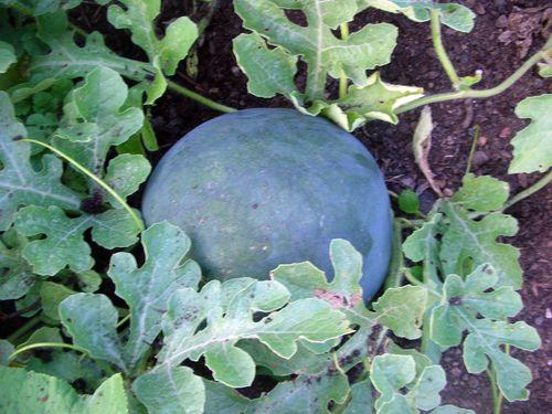 Somewatermelon